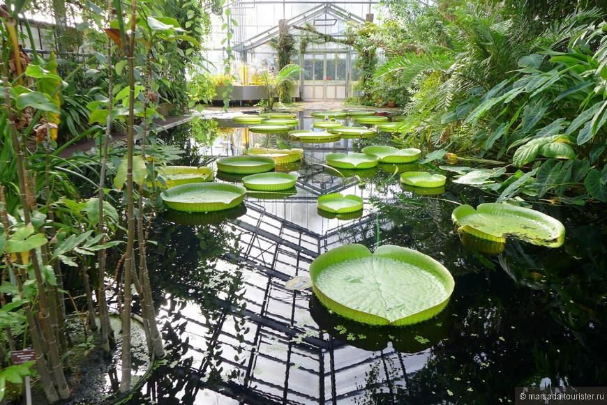 Одна из достопримечательностей сада - гигантская кувшинка виктория из Южной Америки, получившая свое название в 1816 году в честь английской королевы Виктории.