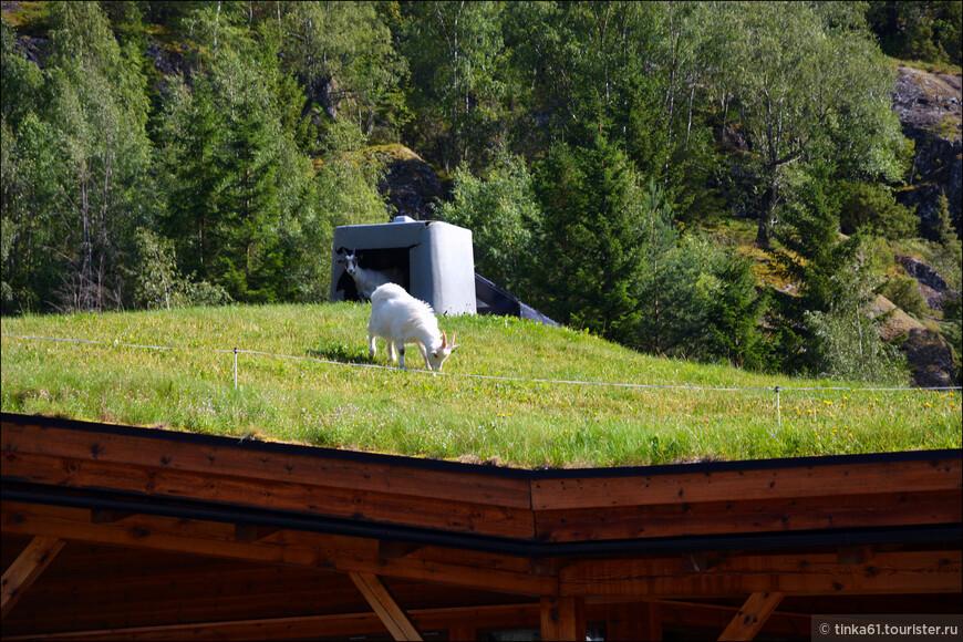 А на этой крыше паслись козы. Чудеса, да и только!