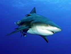 На Сейшелах и в Приморье туристов атаковали акулы