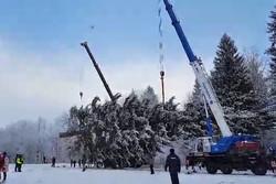 Главную новогоднюю ель страны сегодня срубят в Подмосковье