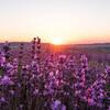 Лавандовое поля на закате