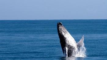 В Доминикане стартовал сезон наблюдения за китами