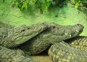 """Завершу альбом наиболее милым из моих """"крокодильих"""" фото. Эта парочка так и просится на открытку к 14 февраля :)"""