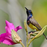 Желтобрюхая нектарница, Cinnyris jugularis, Olive-backed Sunbird
