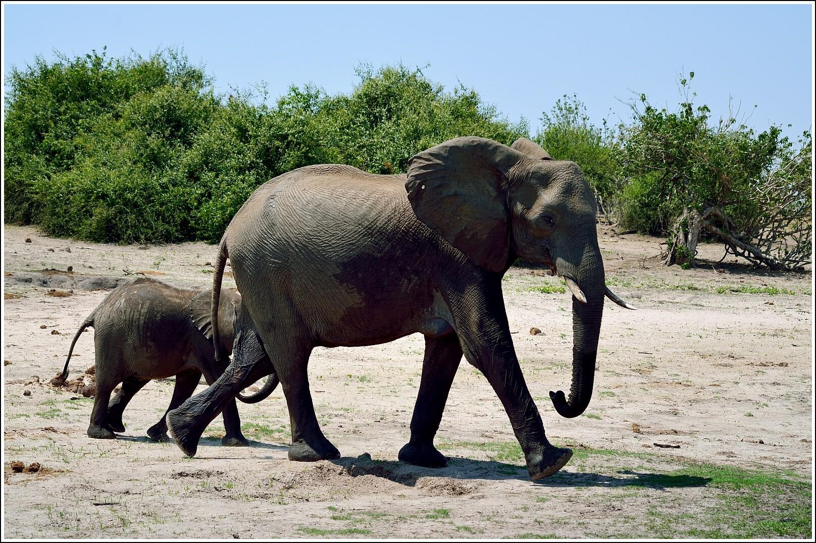 слоны и пантеры картинки история закончилась печально