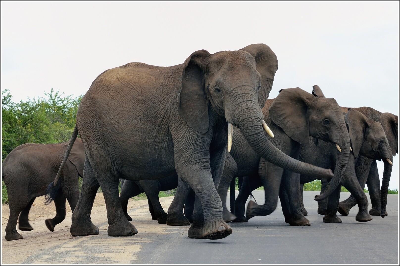Картинки пантеры и слона