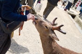 Олени в парке Японии кусают туристов, желающих сделать с ними селфи
