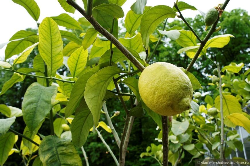 Это лимон. С него начинается...? Правильно - лимонад.