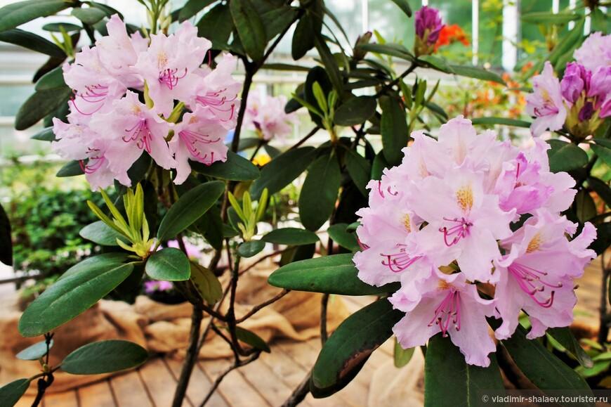 Помимо пионов представлены и другие цветы. Рододендрон. В России в естественных условиях встречается до 18 видов, главным образом на Кавказе, в Сибири и на Дальнем Востоке.