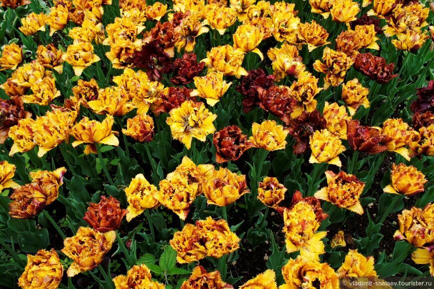 Тюльпанов в огороде не просто много, а очень много.