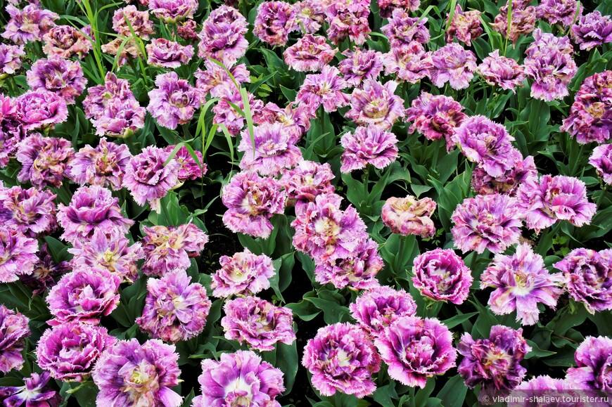 Цветы тюльпана состоит из трех внутренних и трех наружных лепестков. И только у гибридных больше.