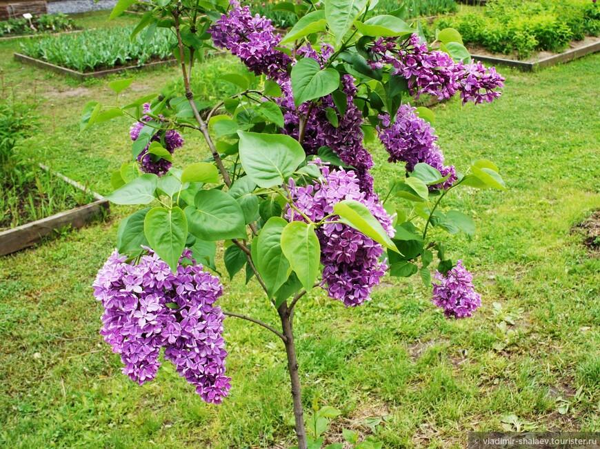 Сирень свисает как гроздь винограда.