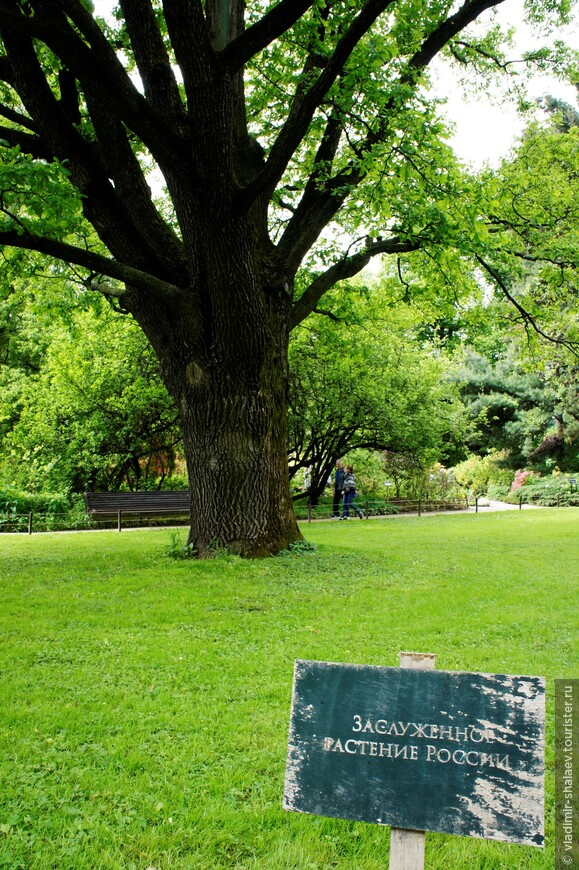 Этот дуб, вероятно, посажен Георгом Францем Гофманом - первым директором сада после приобретения его Московским университетом в 1805 году.  Г. Ф. Гофман (1761 - 1826) - талантливый немецкий учёный, был приглашён заведовать садом из Гёттингенского университета. Он привёз с собой в Россию множество растений, ценную библиотеку и ботанические коллекции, положившие начало Гербарию МГУ.