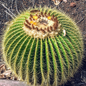 Сад кактусов. Оаху, Гавайи