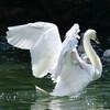 Лебеди на озере Гарда