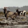 Диких коз можно довольно часто встретить по дороге к замку Эйлен-Донан