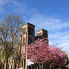 Цветение сакуры перед Кафедральным собором Инвернесса