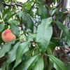 В Ботаническом саду Инвернесса вызревают даже персики!