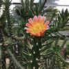 Цветение кактусов в Ботаническом саду Инвернесса