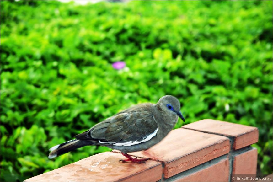 Какие-то местные птички похожие на голубей, но не голуби. Татуаж глаз у них изумительный.