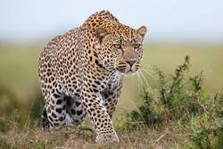 В сафари-парке Уганды леопард загрыз ребёнка