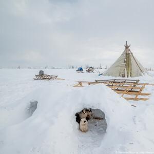 Оленегонные собачки....жили в домике из снега
