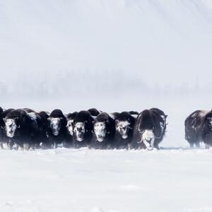 Мускусные овцебыки