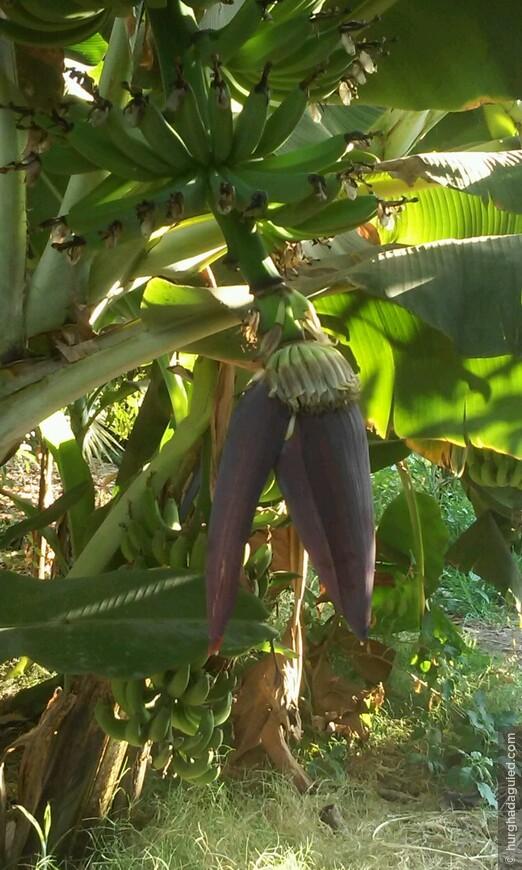Это будущие бананы!!! Со временем этот цветок превратиться в гроздь огромную бананов!
