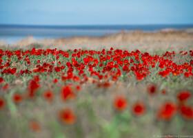 Эльтон-Баскунчак: Цветение тюльпанов