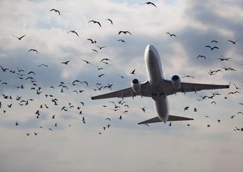 В Домодедово стая птиц помешала посадке двух лайнеров