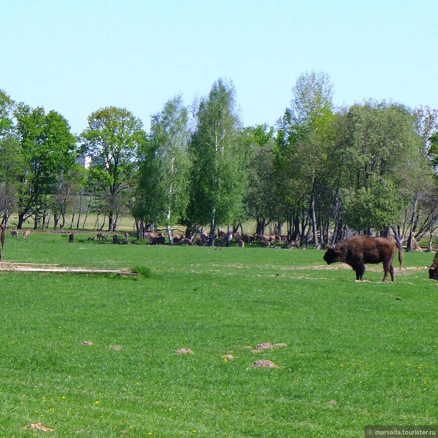 Особая гордость зоосада — зубры, которых в Беларуси называют «хозяевами лесов». Ещё полвека назад существование самых крупных представителей местной фауны было под угрозой.