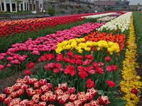 Велотур по Нидерландам. Тюльпановые поля.