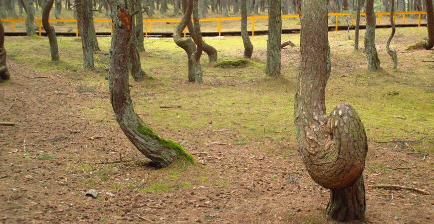 Танцующий лес (национальный парк «Куршская коса»)