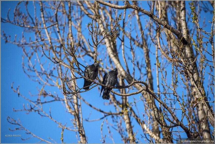В апреле природа города оживает. На деревьях, как мы видим, еще не везде распустились листья. Что не мешает голубям наслаждаться весенним солнышком...