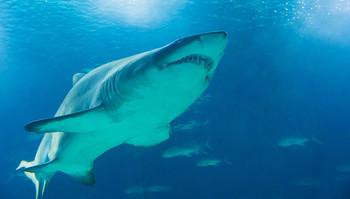При атаке на кайтсёрфера белая акула сломала зуб