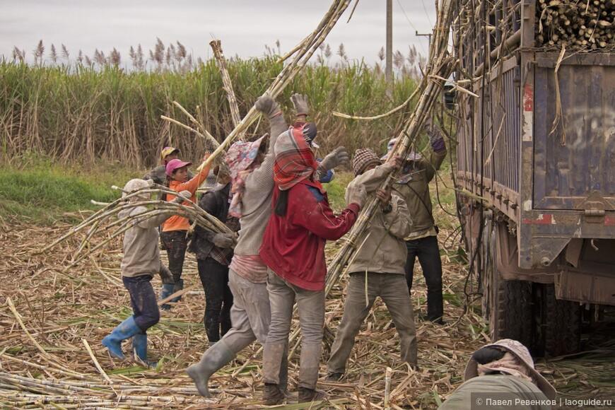 Уборка сахарного тростника в окрестностях Мыанг Син