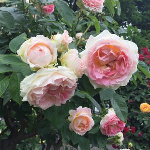 Розовое великолепие Вены
