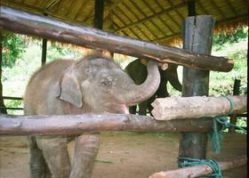 Сегодня - День защиты слонов в зоопарках