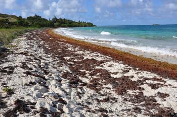 Курорты Карибского моря страдают от бурых водорослей