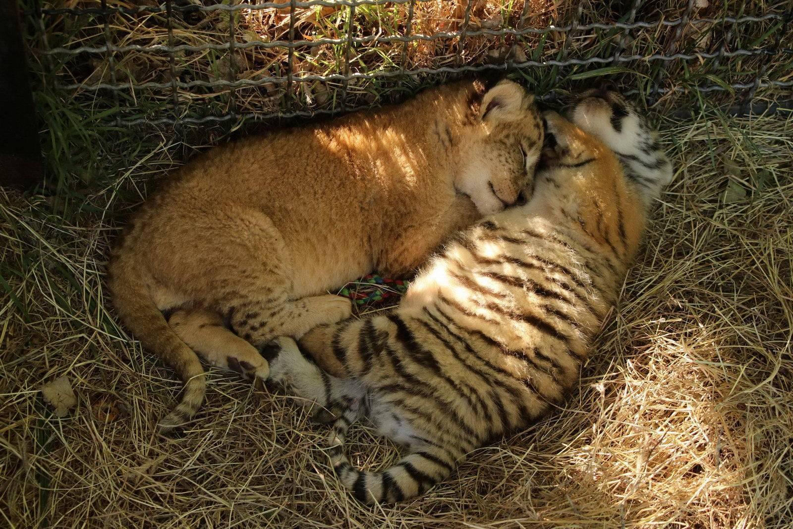 распечатать картинки львят и тигрята сегодняшний день кино