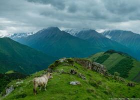 Корова на перевале Цей-Лоам