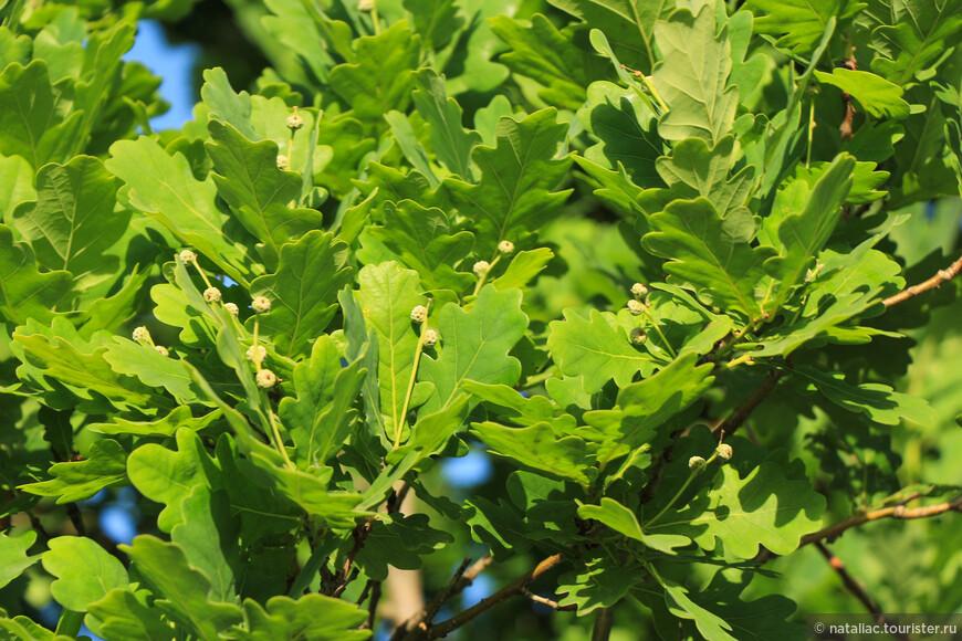 Кипарисоподобные стройные ряды удивили листьями-дуб??