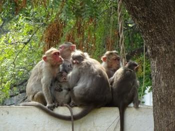 Стая обезьян напала на туристку в Тадж Махале