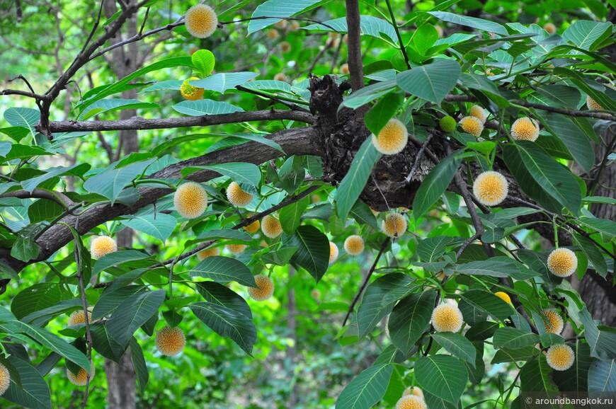 Крайне полезное и красивое фруктовое дерево - тоже редкость, одно среди трассы в сотню км.