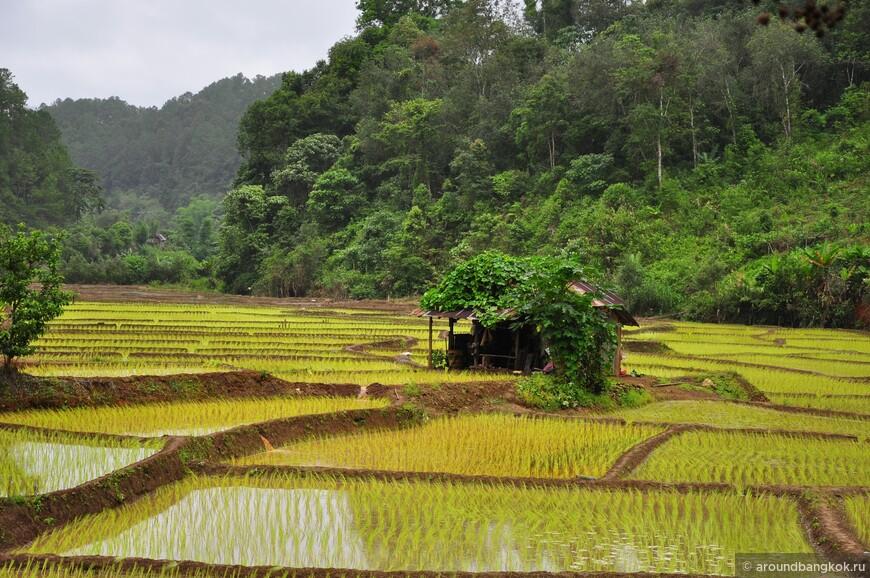 """Виртуальная """"визитная карточка"""" горного Таиланда - это рисовые террасы, """"лестницей"""", как говорят тайцы. На самом деле красивых и полноценных террас найти очень непросто. Тем более, что явление риса на них - чисто сезонное дело."""