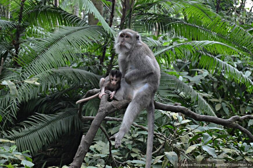 Обезьяны – священные животные в индуизме, а в балийской религии обезьяноподобное божество Хануман, герой «Рамаяны», — ещё и одно из перевоплощений Шивы.
