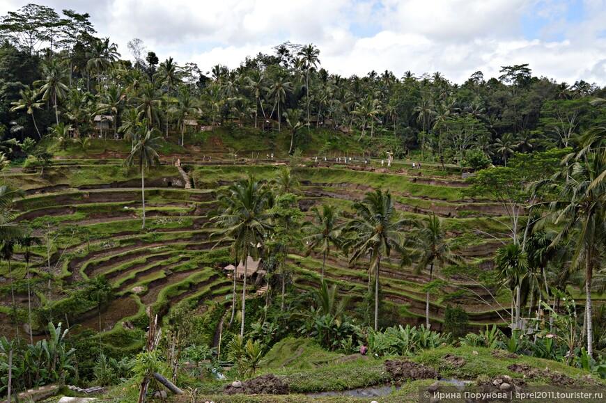 Рисовые террасы Тегалаланг (Tegalalang). Эти террасы считаются самыми живописными на Бали.