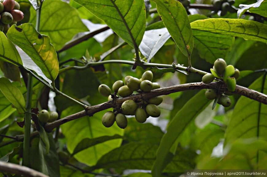 Плоды кофе еще зеленые, спелые ягоды красного цвета.