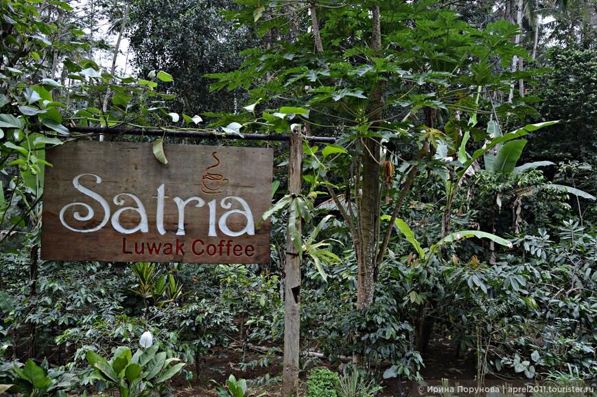 На кофейную плантацию мы отправились, чтобы поближе познакомиться с производством самого дорого кофе в мире - кофе Лювак.