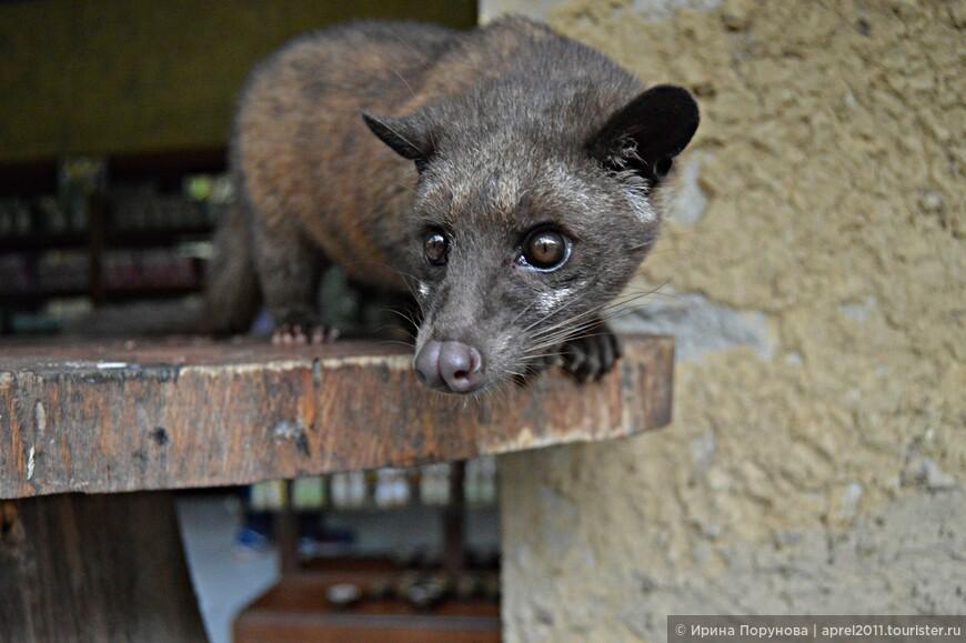 Главное действующее лицо в цепочке производства самого дорогого кофе, маленький зверек с грустными глазами – мусанг или пальмовая циветта.